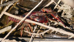 Red Swamp Crayfish (Procambarus clarkii)