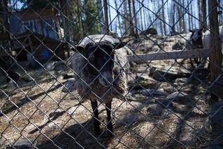Day at alpaca farm