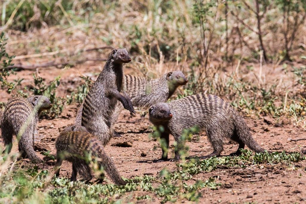 Serengeti_17sep18_12_manguste