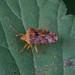 Parent Bug ---- Elasmucha grisea