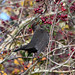Blackbird at Chesworth Farm, Horsham