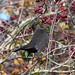 Blackbird at Chesworth Farm, Horsham