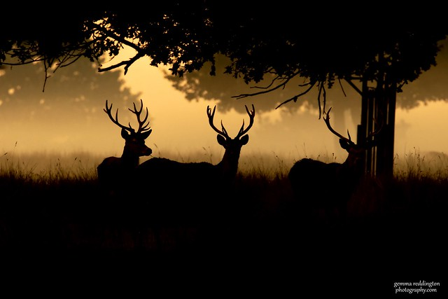 misty stags at dawn