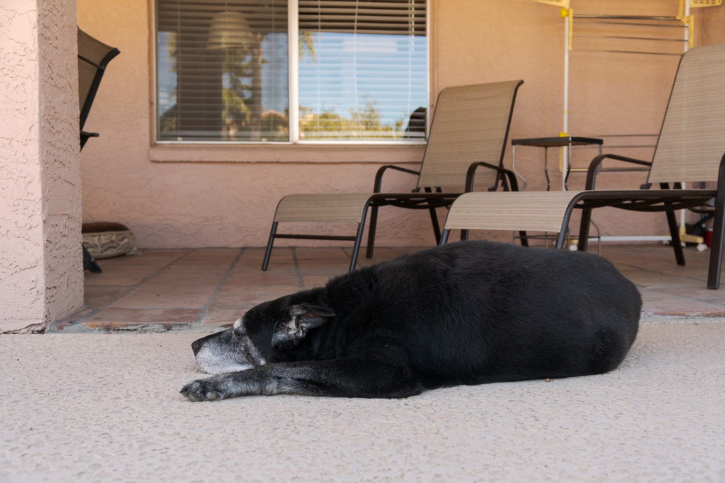 Our dog Ellie sleeps beside the patio in the backyard of our rental house in Scottsdale, Arizona