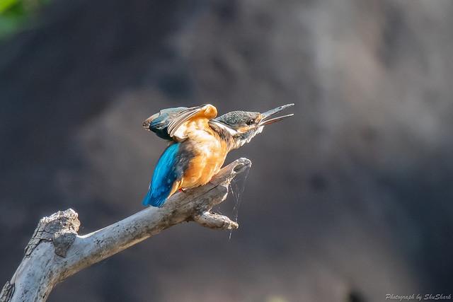 20181007-kingfisher-DSC_8930
