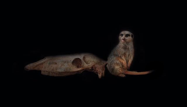 Suricata suricatta [Explored 13/10/2018]