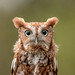 Screech owl - red morph by Nature as Art Photography
