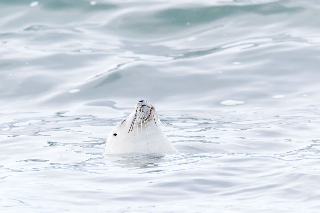 A harbor seal serenely floats in the Pacific Ocean with its nose sticking straight up at Yaquina Head Outstanding Natural Area in Newport, Oregon