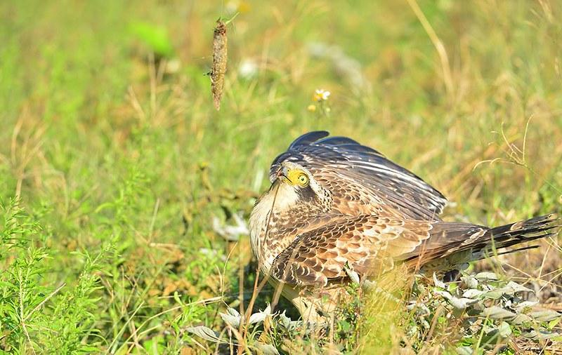 不當誘拍,大冠鷲恐因吞食釣線而死亡。匿名民眾提供。
