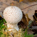 Common Puffball and friend by wightbern