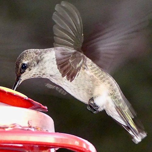 """red feeder birdinflight bird hummingbird blackchinnedhummingbird blackchinned 500 views panasonic lumix camera photograph photography lens f28 picture pictures kodak """"kodak moment"""" kodakmoment potd photo day trend trending current flickr nature natural moment moments candid usa 2018 water sky street historic town country east county clouds sun fun hobby interest interests ramona california photooftheday photographs fz300"""
