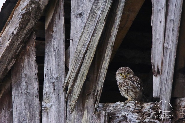 Lucky the Little Owl 4, Sony ILCA-77M2, 150-600mm F5-6.3 SSM