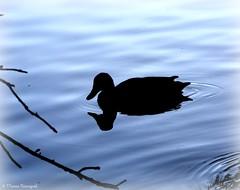 Silhouette sur le lac - Photo of Ponteilla