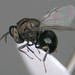 Perilampus laevifrons by Nigel Jones