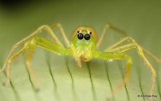 Green Jumper, Lyssomanes sp., Salticidae