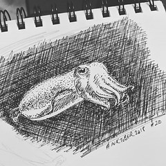 An #inktober2018 cuttlefish. Still reading 'Other Minds' by Peter Godfrey-Smith. Fascinating that these creatures, which can display beautiful fast-changing colours across their bodies, are colour blind like most cephalopods.