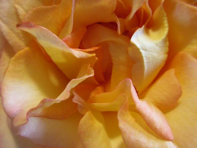 rose, Canon IXUS 170