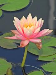 Water Lilies, North Carolina Museum of Art