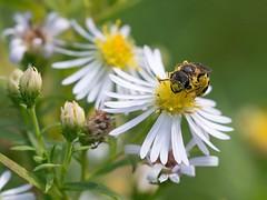 Bees - Apoidea