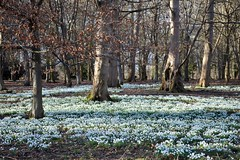 Attingham Park Snowdrops
