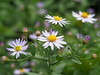 Photo:Aster ovatus var. microcephalus flowers By Greg Peterson in Japan
