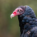 Turkey Vulture by Nature as Art Photography