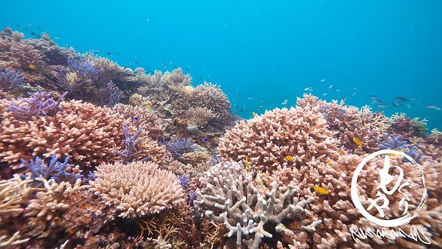 今日も珊瑚がもりもりでした。