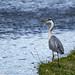 Grey Heron - Llangollen Canal