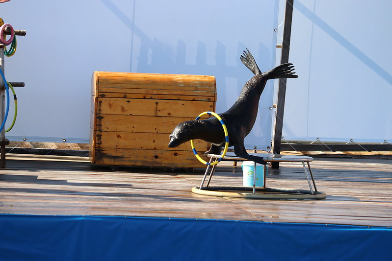 a seal performs a handstand