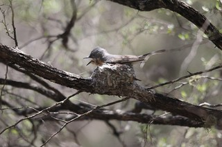 female flycatcher 1