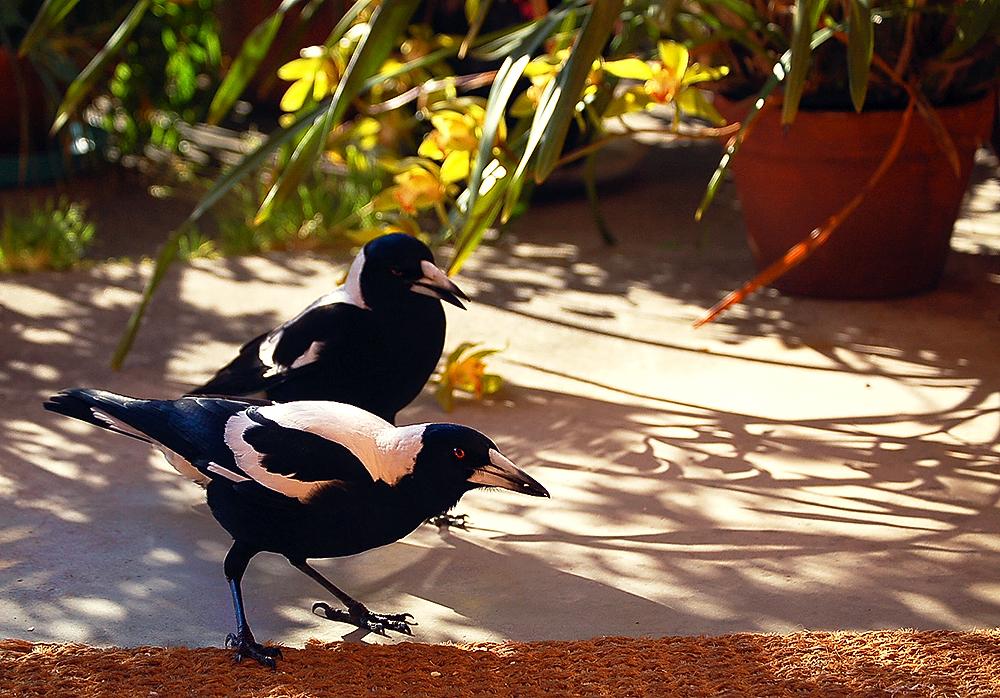 _magpies_&_cymbidium_