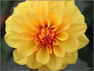Yellow & orange flower, Walled Garden, Bangor, NI