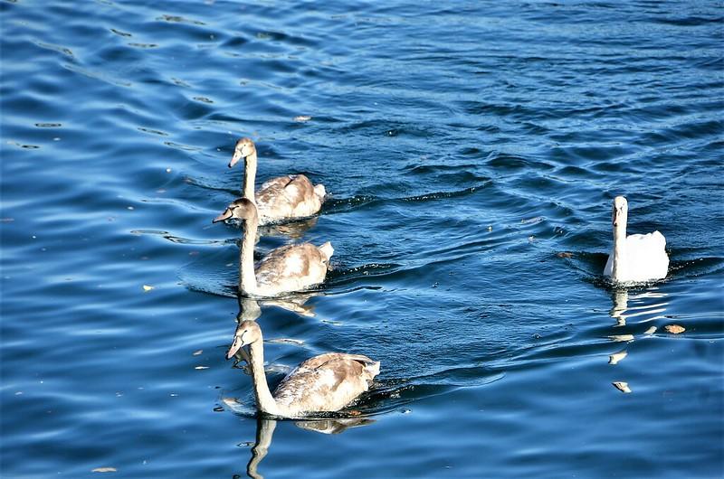 Swans 25.10 (4)
