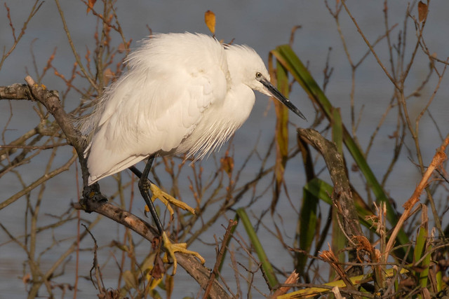Little Egret, Lackford Lakes, Sony ILCA-99M2, Sony 500mm F4 G SSM (SAL500F40G)