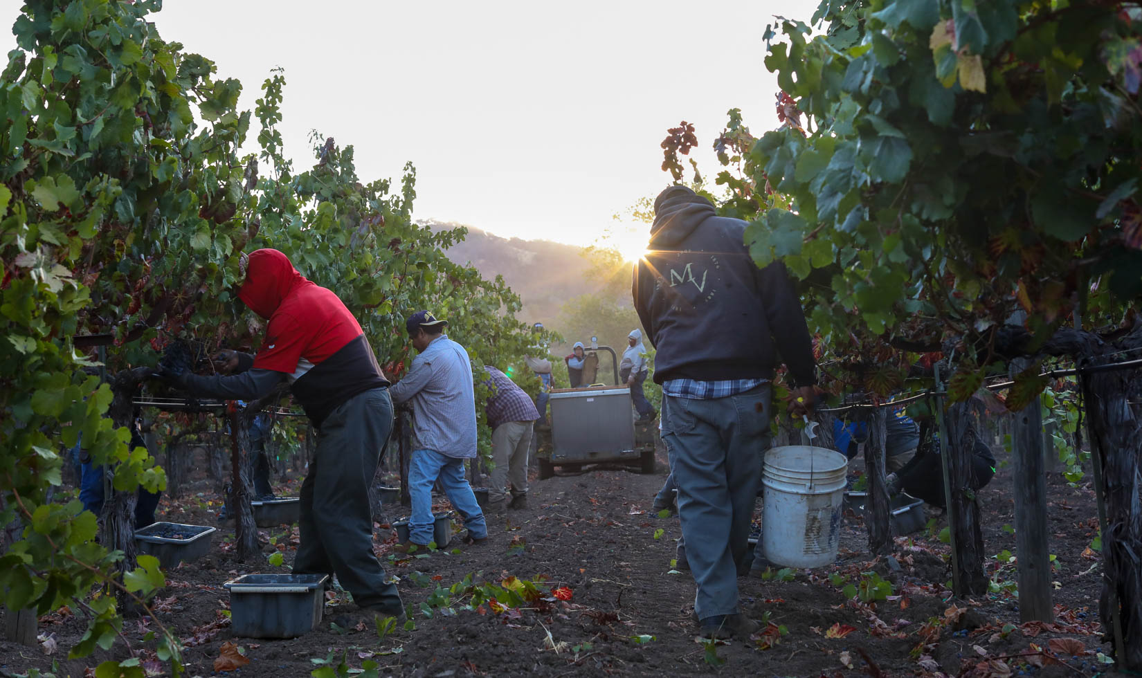 2018 Jordan Winery Grape Harvest