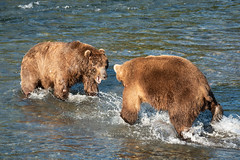 Bears 32 and 856 face off on the Brooks River, July 6, 2018