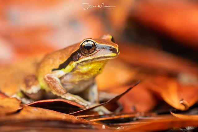 Green-thighed Frog Litoria brevipalmata, Canon EOS 7D MARK II, Tamron SP AF 90mm f/2.8 Di Macro