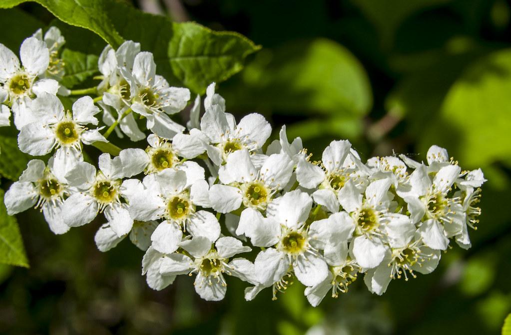 Белый цвет, черёмухи цвет, это любви весенний привет!