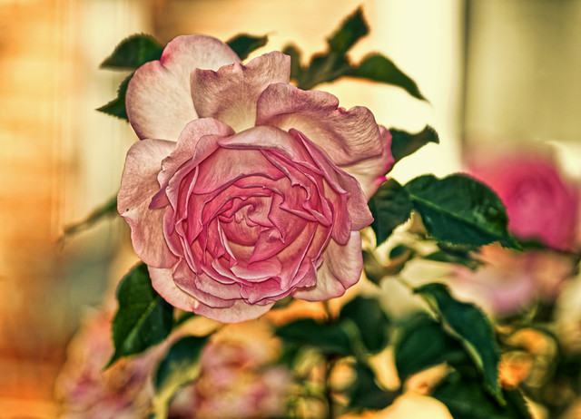 20 ° de rose en novembre - 20 ° of rose in November