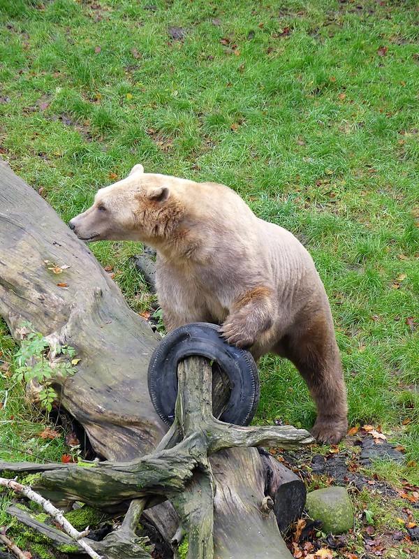 Hybridbär, Zoo Osnabrück