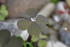 Droplet of water on a clover