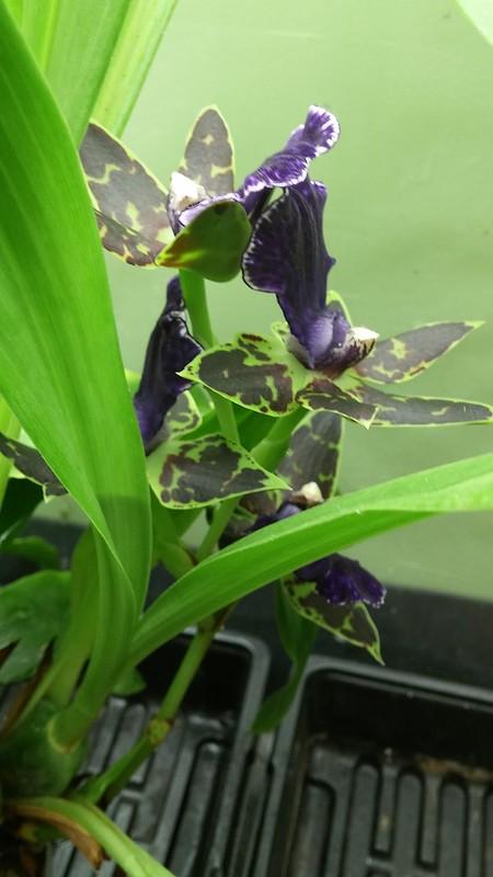 Les orchidées chez Sougriwa - Page 9 31358997108_f466f7f0ba_c