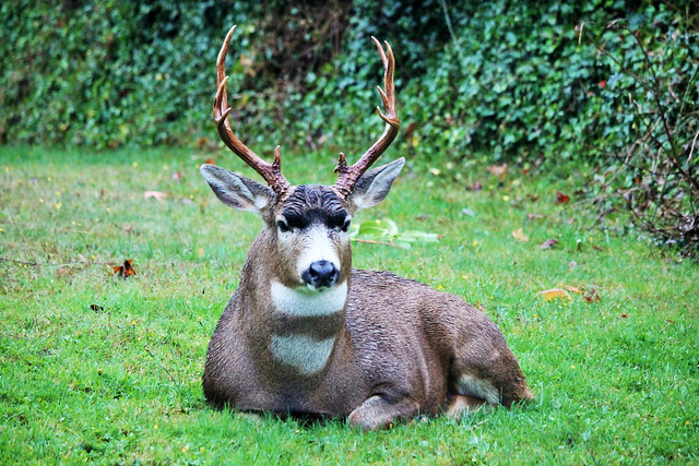 Implacable Stag