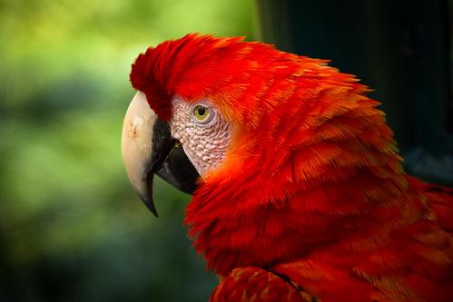 True parrot