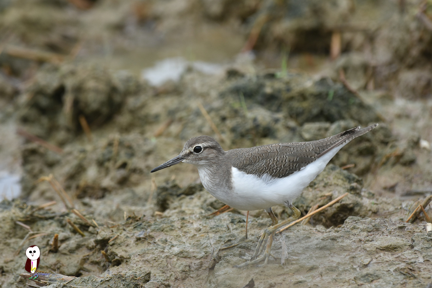 Common_Sandpiper_7581