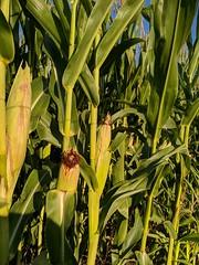 Maïs en automne