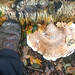 Large Birch polypore
