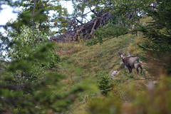 Chamois (Rupicapra rupicapra) - Photo of Saint-Aupre