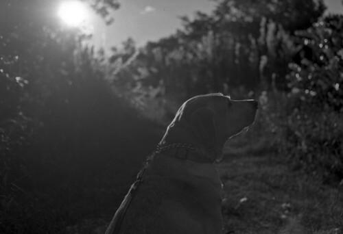 nikon slr vintagecamera nikonf eyelevel plainprism nikkor nonai 35mmnikkoro film analog bw blackandwhitefilm kodak eastman 5234 rodinal standdeveloping coolscan dog lab labrador yellowlab afternoon sunset endofday lastlight