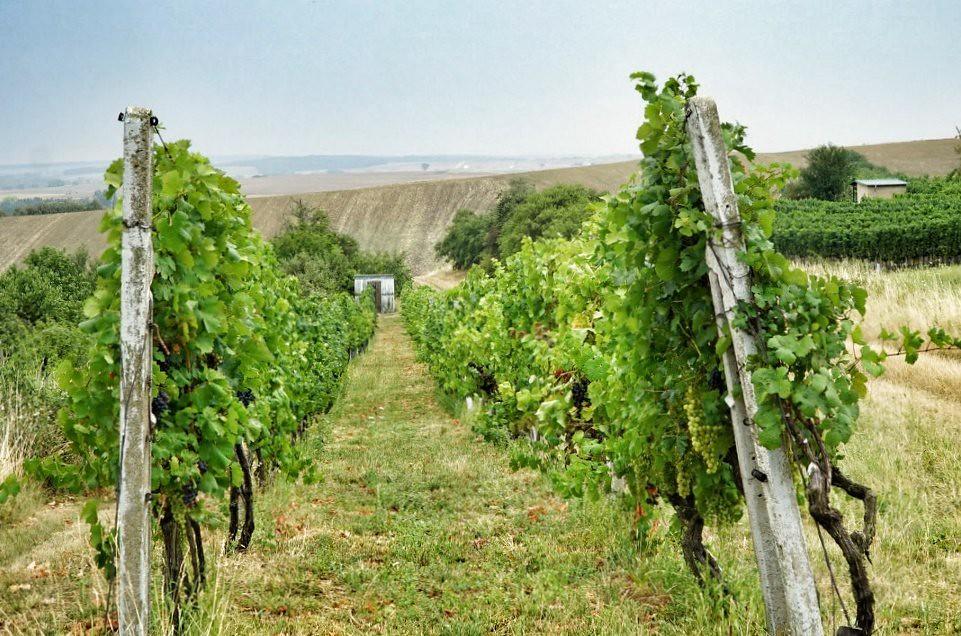 """Viiniköynnöksiä Moravian """"Toscanassa"""""""